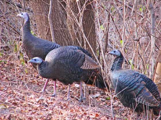 Female Wild Turkeys